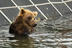Brown bear waiting for prey in the Kurile Lake. Stock Photos