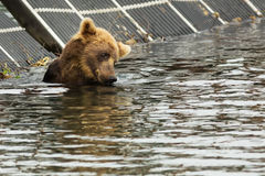 Brown bear waiting for prey in the Kurile Lake. Royalty Free Stock Photos
