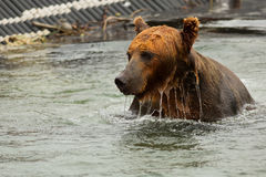 Brown bear waiting for prey in the Kurile Lake. Royalty Free Stock Photography
