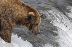 Brown bear waiting for salmon to jump. While standing on top of Brooks Falls, Alaska Stock Images
