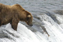 Brown bear waiting for salmon to jump. While standing on top of Brooks Falls, Alaska Royalty Free Stock Photos