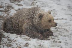 Brown bear waking up from hibernation. Springtime snow and bear waking up from hibernation Royalty Free Stock Photos