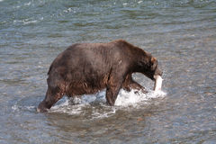 Brown Bear walking Stock Photography
