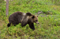 Brown bear walking Royalty Free Stock Photo
