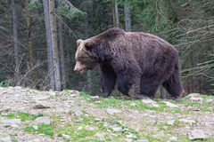 Brown bear walking along the forest Royalty Free Stock Image