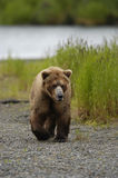 Brown bear walking on beach Royalty Free Stock Image