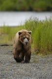 Brown bear walking on beach. Of Brooks River, Alaska Royalty Free Stock Image