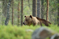 Brown bear walking behind a hill Royalty Free Stock Photography