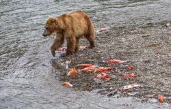 Brown Bear Walking by the Carcasses of Salmon Stock Image