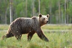 Brown bear walking fast in the bog Stock Image