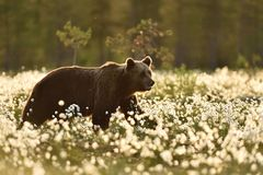 Brown bear walking in flourishing bog Royalty Free Stock Image