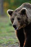 Brown Bear walking in the forest Stock Photos