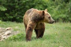 Brown bear walking Stock Images