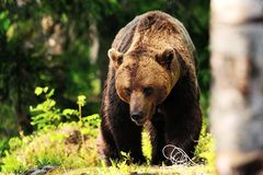 Brown bear walking Royalty Free Stock Photos
