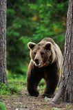 Brown bear walking Royalty Free Stock Image