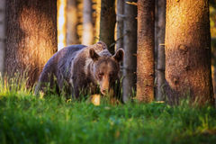 Brown bear. The brown bear walking into forest Stock Images
