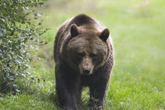 Brown bear. Walking in the forest facing he camera Royalty Free Stock Image