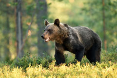 Brown bear walking in a forest at summer. Stock Photo