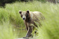 Brown bear walking through grass. Brown bear walking on the bank of Brooks River keeping a close eye on me Royalty Free Stock Photography