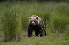 Brown bear walking through grass Royalty Free Stock Photos