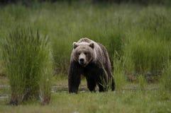 Brown bear walking through grass. Brown bear walking on the bank of Brooks River keeping a close eye on me Royalty Free Stock Photos