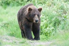 Brown Bear. A brown bear walking through the grass Stock Images