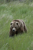 Brown Bear walking through grass Stock Photos