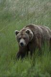 Brown Bear walking through grass stock images
