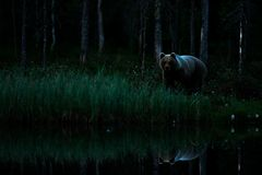 Free Brown Bear Walking In Dark Night Forest. Dangerous Animal In Nature Taiga And Meadow Habitat. Wildlife Scene From Finland Near Rus Royalty Free Stock Image - 129581916