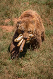 Brown bear walking with mouthful of baguettes Stock Photography