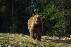 Brown bear walking onto the camera Royalty Free Stock Image