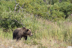 Brown bear walking out of alder trees. Brown bear walking out from cover Royalty Free Stock Photo