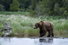 Brown Bear walking on river bank Royalty Free Stock Images
