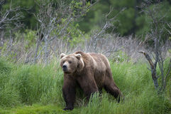 Brown Bear walking on river bank Royalty Free Stock Image