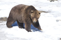 Brown Bear. A brown bear walking through the snow Royalty Free Stock Photography