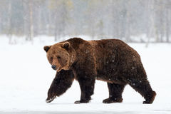 Brown bear walking in the snow. Beautiful brown bear walking in the snow in Finland while descending a heavy snowfall royalty free stock photo