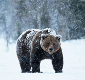 Brown bear walking in the snow Royalty Free Stock Images