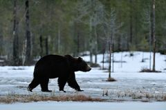Brown bear walking on the snow Royalty Free Stock Photography