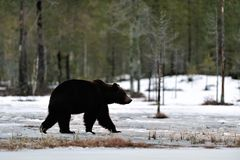 Brown bear walking on the snow Stock Photography