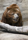 Bear Close Up. A brown bear walking in a stream next to a log Stock Image