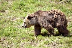 Brown bear walking Royalty Free Stock Photo