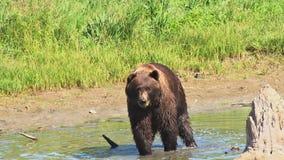 Brown bear walking in water. Video of brown bear walking in water stock video footage