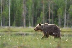 Brown bear walking in wetland Stock Photography