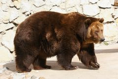 Brown bear walking at zoo Stock Images