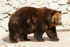 Brown bear walking at zoo Stock Images