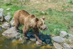 Brown Bear walks on the rocky shore stock image