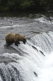 Brown bear watching fish jump Royalty Free Stock Photos