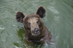 brown bear in water royalty free stock images