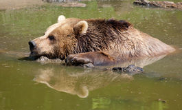 Brown Bear in Water Stock Photo