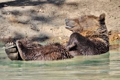 Brown bear in the water Stock Images